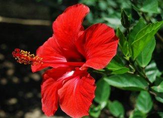 Hibiscus skin hair care