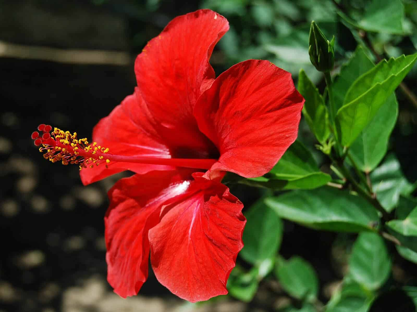 Hibiscus for health and beauty gofooddy hibiscus skin hair care izmirmasajfo Choice Image